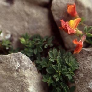 Photographie n°278140 du taxon Lotus corniculatus subsp. alpinus (DC.) Rothm.