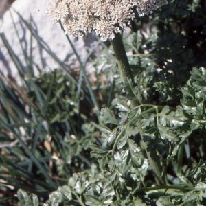 Daucus carota subsp. drepanensis (Arcang.) Heywood (Carotte de Trapani)