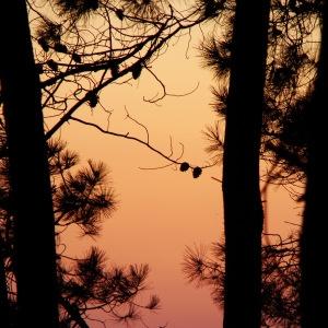 Photographie n°278294 du taxon Pinus nigra subsp. nigra