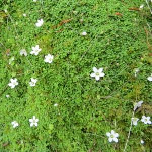 Photographie n°278385 du taxon Arenaria balearica L. [1768]
