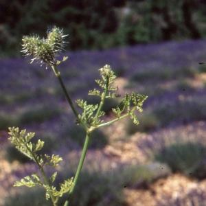 Photographie n°278390 du taxon Caucalis platycarpos L.