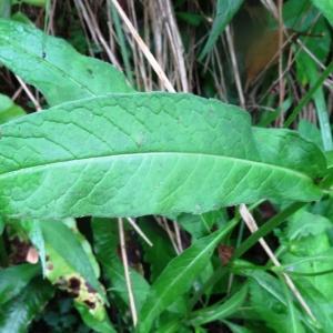 Photographie n°278571 du taxon Knautia maxima (Opiz) J.Ortmann [1842]