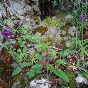 Photographie n°278580 du taxon Betonica officinalis subsp. officinalis