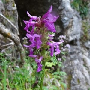 Photographie n°278581 du taxon Betonica officinalis subsp. officinalis