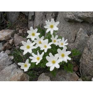 Anemone scherfelii subsp. cyrnea (Gamisans) B.Bock & J.M.Tison (Anémone de Corse)
