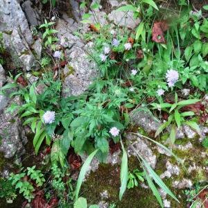 Photographie n°278784 du taxon Scabiosa cinerea Lapeyr. ex Lam. [1792]