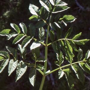 Photographie n°278920 du taxon Angelica sylvestris L. [1753]