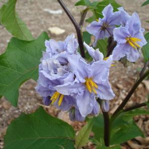- Solanum melongena L.