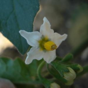 - Solanum nigrum L.