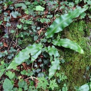 Photographie n°279451 du taxon Asplenium scolopendrium subsp. scolopendrium
