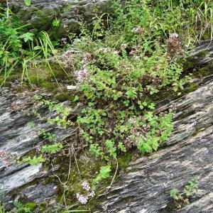 Photographie n°279579 du taxon Origanum vulgare subsp. vulgare