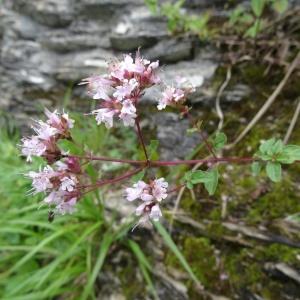 Photographie n°279580 du taxon Origanum vulgare subsp. vulgare