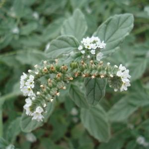 - Heliotropium europaeum L.