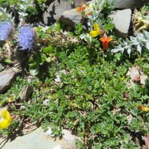 Photographie n°280584 du taxon Lotus corniculatus subsp. alpinus (DC.) Rothm.