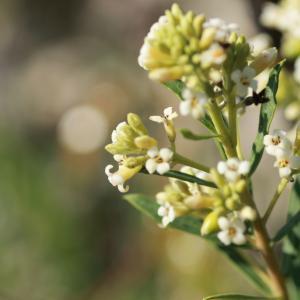 Photographie n°280721 du taxon Daphne gnidium L. [1753]