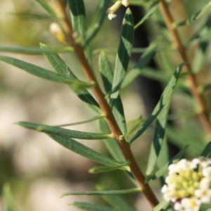 Photographie n°280722 du taxon Daphne gnidium L. [1753]