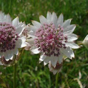 - Astrantia major L.