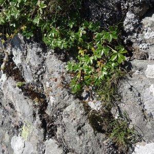 Photographie n°282476 du taxon Alchemilla alpina L. [1753]