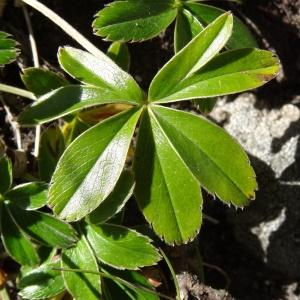 Photographie n°282477 du taxon Alchemilla alpina L. [1753]