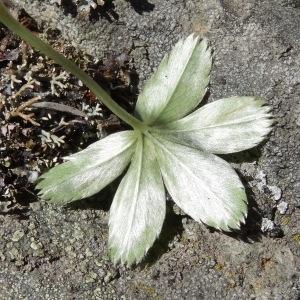 Photographie n°282478 du taxon Alchemilla alpina L. [1753]