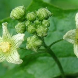 Photographie n°282612 du taxon Bryonia cretica subsp. dioica (Jacq.) Tutin [1968]