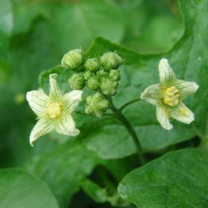 Photographie n°282613 du taxon Bryonia cretica subsp. dioica (Jacq.) Tutin [1968]