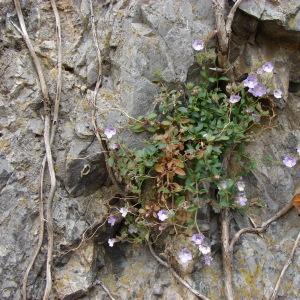 Photographie n°282622 du taxon Chaenorhinum origanifolium (L.) Kostel. [1844]