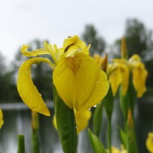 Photographie n°282705 du taxon Iris pseudacorus L. [1753]