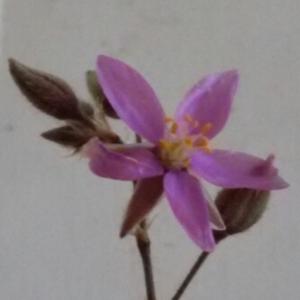Photographie n°282873 du taxon Spergula rubra (L.) D.Dietr. [1840]