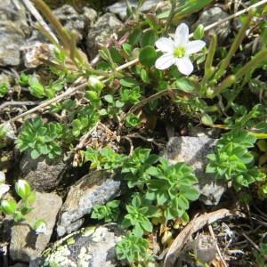 Photographie n°282889 du taxon Arenaria ciliata L. [1753]