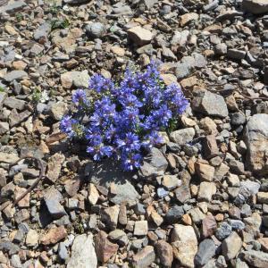 Photographie n°283135 du taxon Veronica nummularia Gouan [1773]
