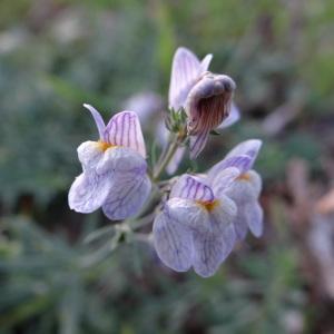 Photographie n°283224 du taxon Linaria repens (L.) Mill. [1768]