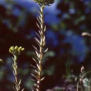 Sedum montanum E.P.Perrier & Songeon (Orpin des montagnes)