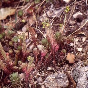 Photographie n°283309 du taxon Sedum rupestre L. [1753]