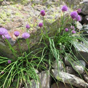 Photographie n°283433 du taxon Allium schoenoprasum L.