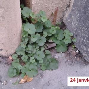 Photographie n°283550 du taxon Cymbalaire des murailles
