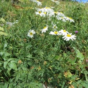 Photographie n°283557 du taxon Tanacetum corymbosum (L.) Sch.Bip. [1844]