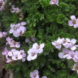Photographie n°283589 du taxon Petrocallis pyrenaica (L.) R.Br. [1812]