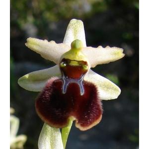 Ophrys aranifera subsp. praecox (Corrias) Véla (Ophrys précoce)