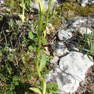 - Ophrys panormitana subsp. praecox (Corrias) Paulus & Gack [1995]