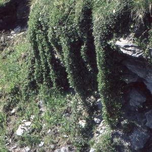 Photographie n°283877 du taxon Salix retusa L.