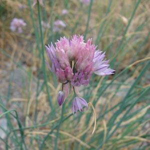 Photographie n°283916 du taxon Allium schoenoprasum L.