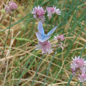 Photographie n°283922 du taxon Allium schoenoprasum L.
