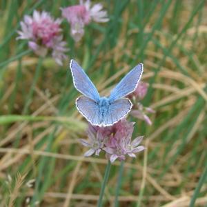 Photographie n°283924 du taxon Allium schoenoprasum L.