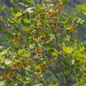 Photographie n°284022 du taxon Acer opalus Mill.