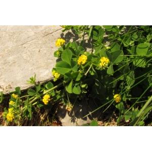 Medicago suffruticosa Ramond ex DC. subsp. suffruticosa (Luzerne sous-ligneuse)