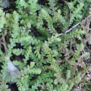 Selaginella helvetica (L.) Spring (Sélaginelle de Suisse)