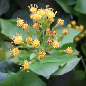 Photographie n°284235 du taxon Delairea odorata Lem.