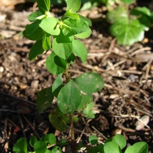 Photographie n°284243 du taxon Euphorbia peplus L. [1753]