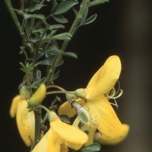 Photographie n°284279 du taxon Cytisus scoparius (L.) Link [1822]
